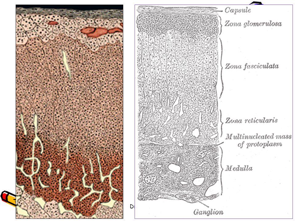 29/05/2014Dr. BAYOUD - Système endocrinien 43