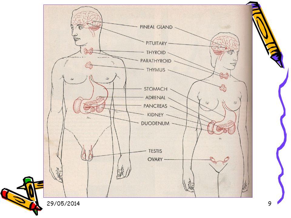 29/05/201440 Corticosurrénale 80% de la glande surrénale.
