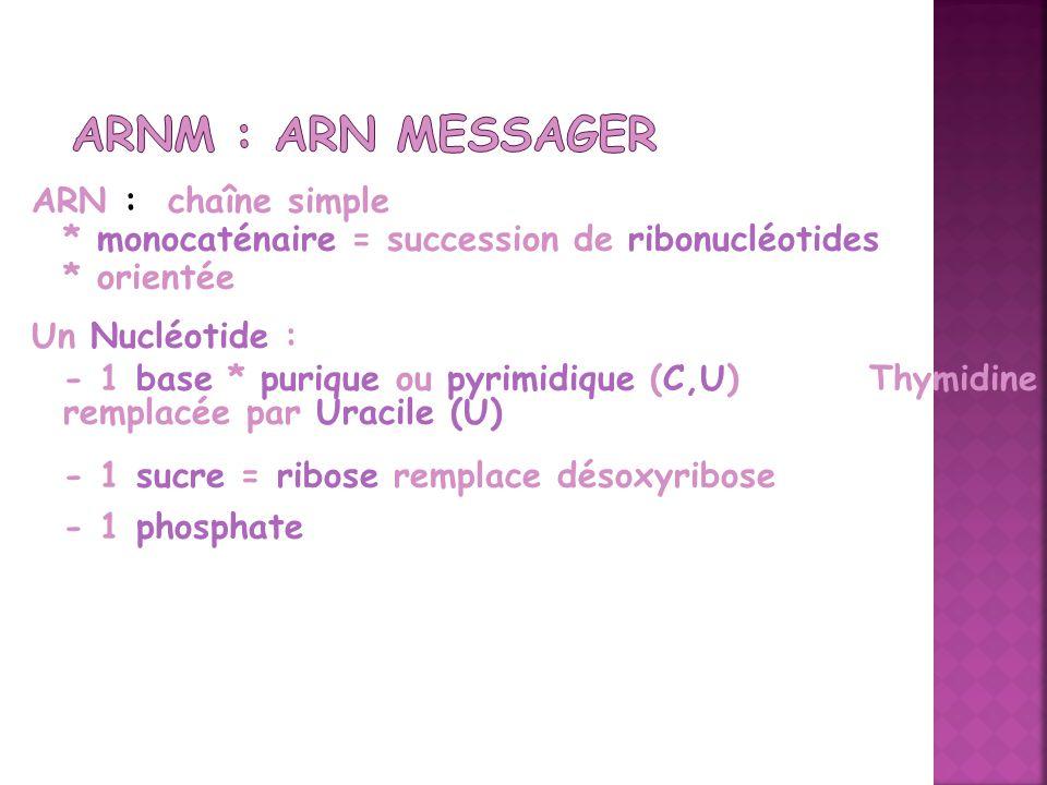 ARN : chaîne simple * monocaténaire = succession de ribonucléotides * orientée Un Nucléotide : - 1 base * purique ou pyrimidique (C,U) Thymidine rempl
