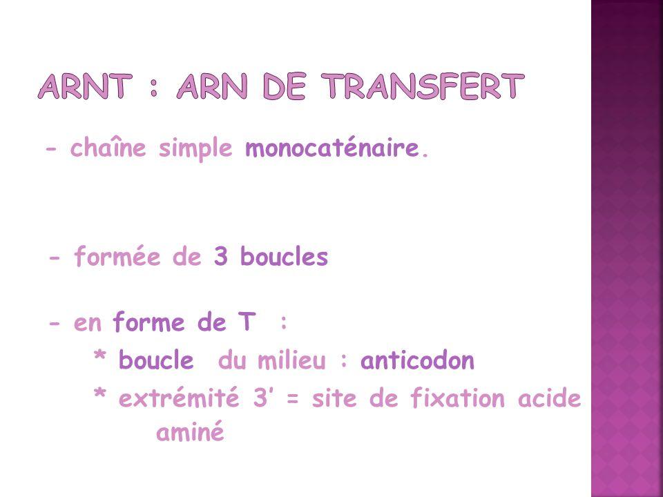 - chaîne simple monocaténaire. - formée de 3 boucles - en forme de T : * boucle du milieu : anticodon * extrémité 3 = site de fixation acide aminé