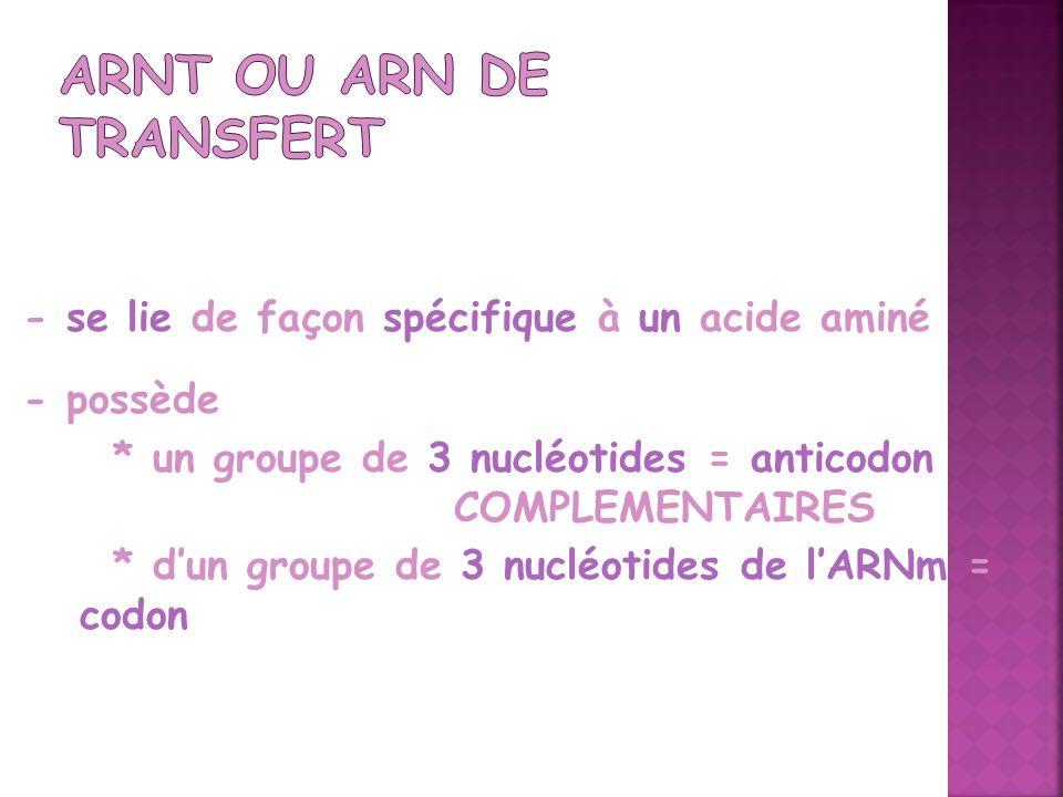 - se lie de façon spécifique à un acide aminé - possède * un groupe de 3 nucléotides = anticodon COMPLEMENTAIRES * dun groupe de 3 nucléotides de lARN