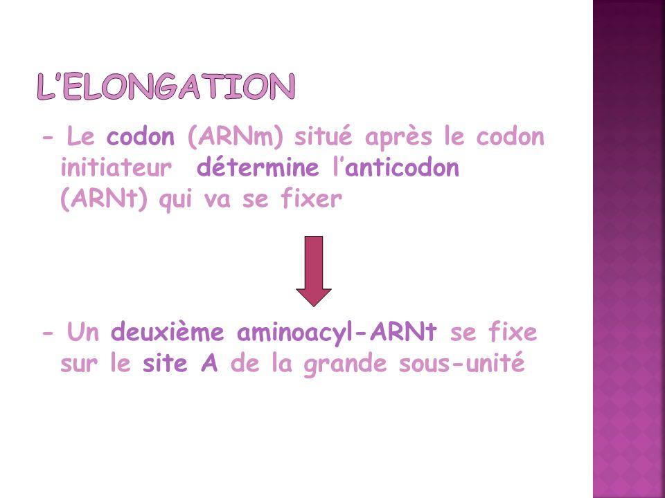 - Le codon (ARNm) situé après le codon initiateur détermine lanticodon (ARNt) qui va se fixer - Un deuxième aminoacyl-ARNt se fixe sur le site A de la