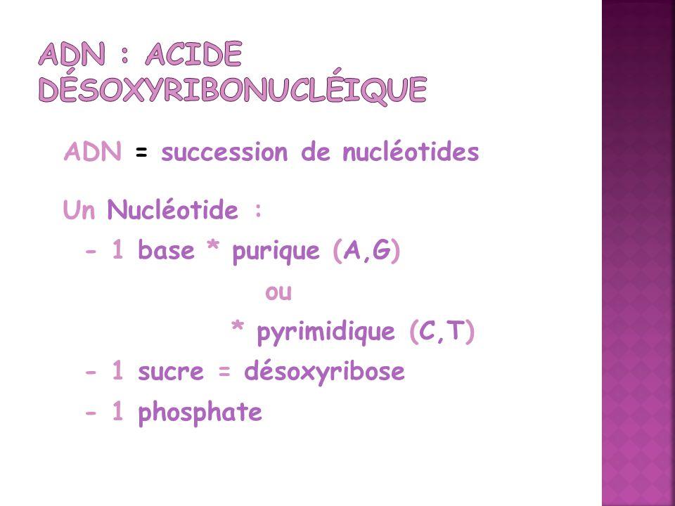 ADN = succession de nucléotides Un Nucléotide : - 1 base * purique (A,G) ou * pyrimidique (C,T) - 1 sucre = désoxyribose - 1 phosphate