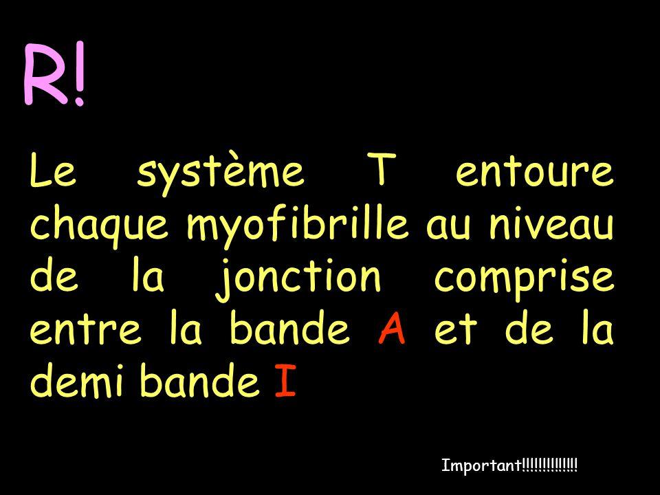 R! Le système T entoure chaque myofibrille au niveau de la jonction comprise entre la bande A et de la demi bande I Important!!!!!!!!!!!!!!