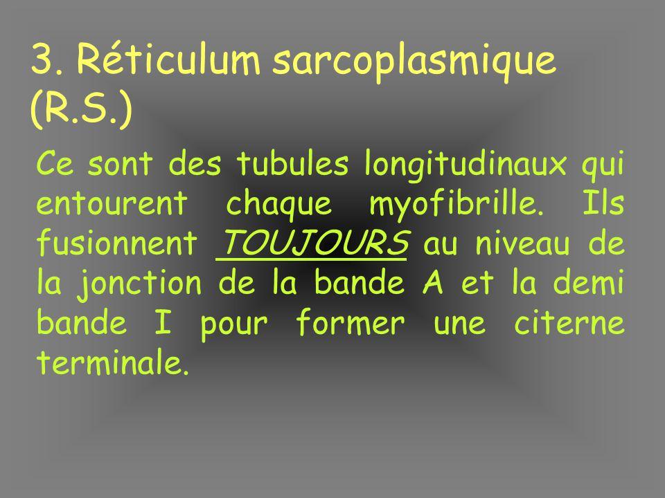 3. Réticulum sarcoplasmique (R.S.) Ce sont des tubules longitudinaux qui entourent chaque myofibrille. Ils fusionnent TOUJOURS au niveau de la jonctio