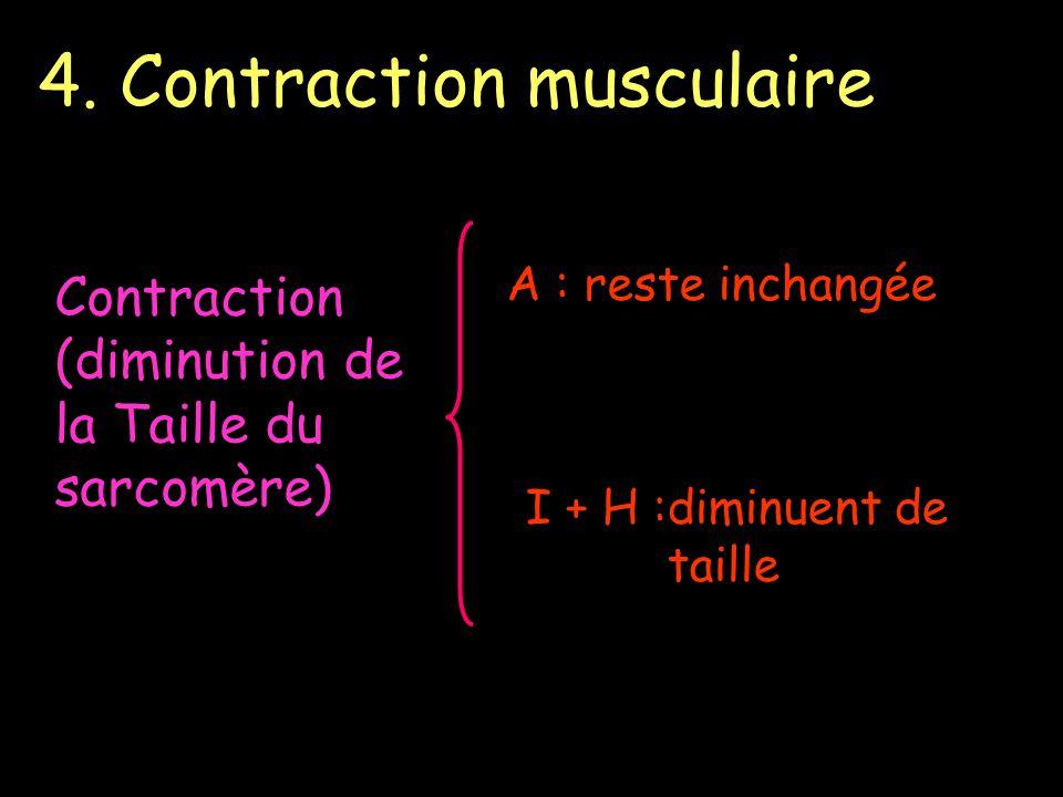 4. Contraction musculaire Contraction (diminution de la Taille du sarcomère) A : reste inchangée I + H :diminuent de taille