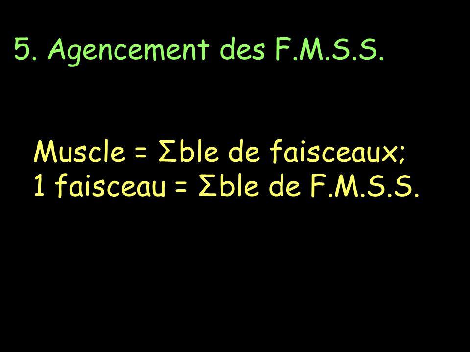 5. Agencement des F.M.S.S. Muscle = Σble de faisceaux; 1 faisceau = Σble de F.M.S.S.
