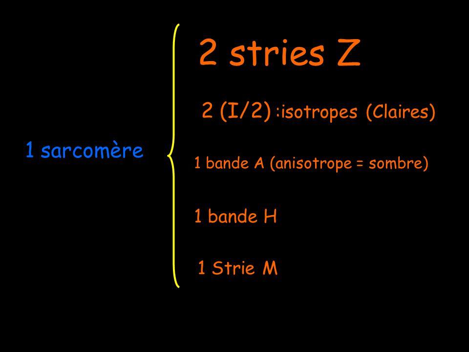 Troponine Actine Myosine R ! Actine senroule autour dun axe de tropomyosine