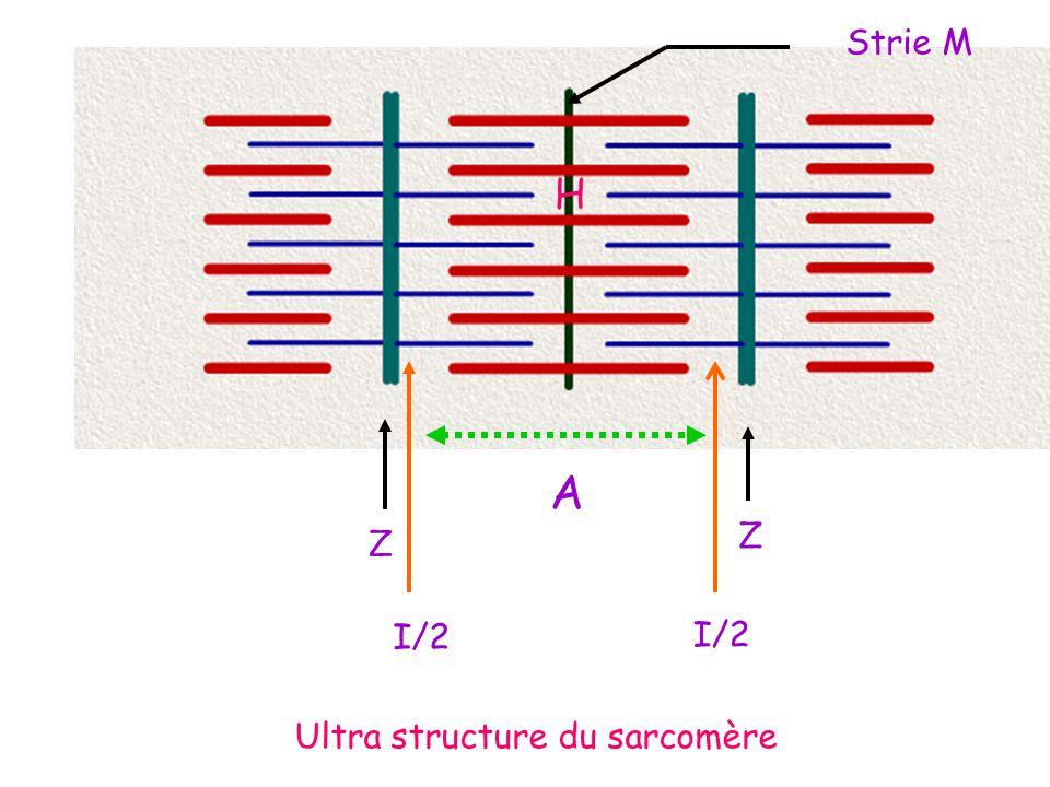 R.Les myofilaments fins sont présents partout sauf au niveau de la bande H.