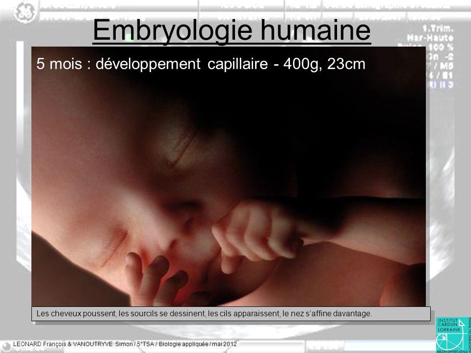 Embryologie humaine LEONARD François & VANOUTRYVE Simon / 5°TSA / Biologie appliquée / mai 2012 5 mois : développement capillaire - 400g, 23cm Les che