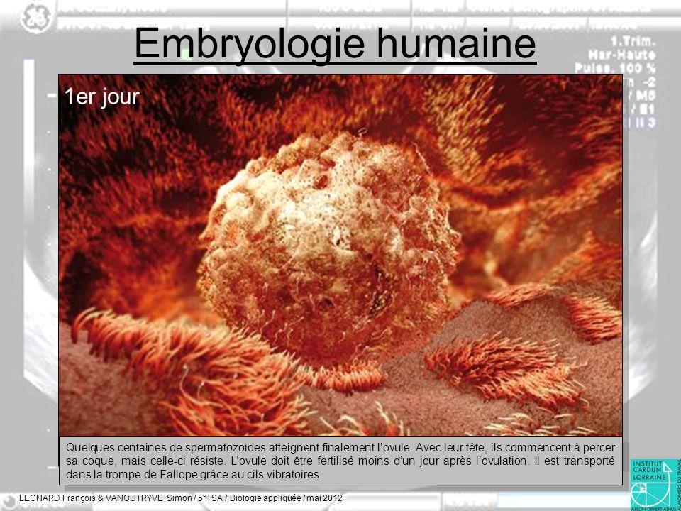 Embryologie humaine LEONARD François & VANOUTRYVE Simon / 5°TSA / Biologie appliquée / mai 2012 1er jour Quelques centaines de spermatozoïdes atteigne
