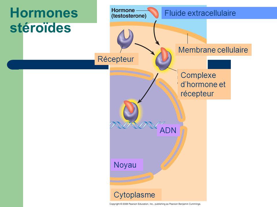 Hormones stéroïdes Récepteur Membrane cellulaire Complexe dhormone et récepteur Cytoplasme Fluide extracellulaire Noyau ADN