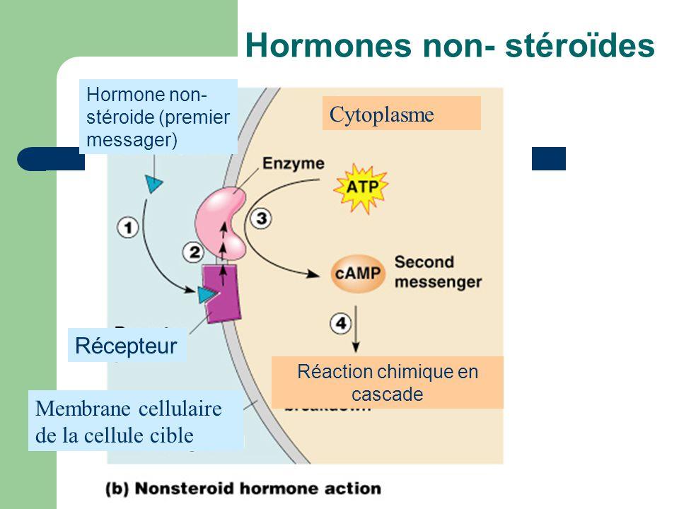 Hormones non- stéroïdes Cytoplasme Hormone non- stéroide (premier messager) Récepteur Membrane cellulaire de la cellule cible Réaction chimique en cas