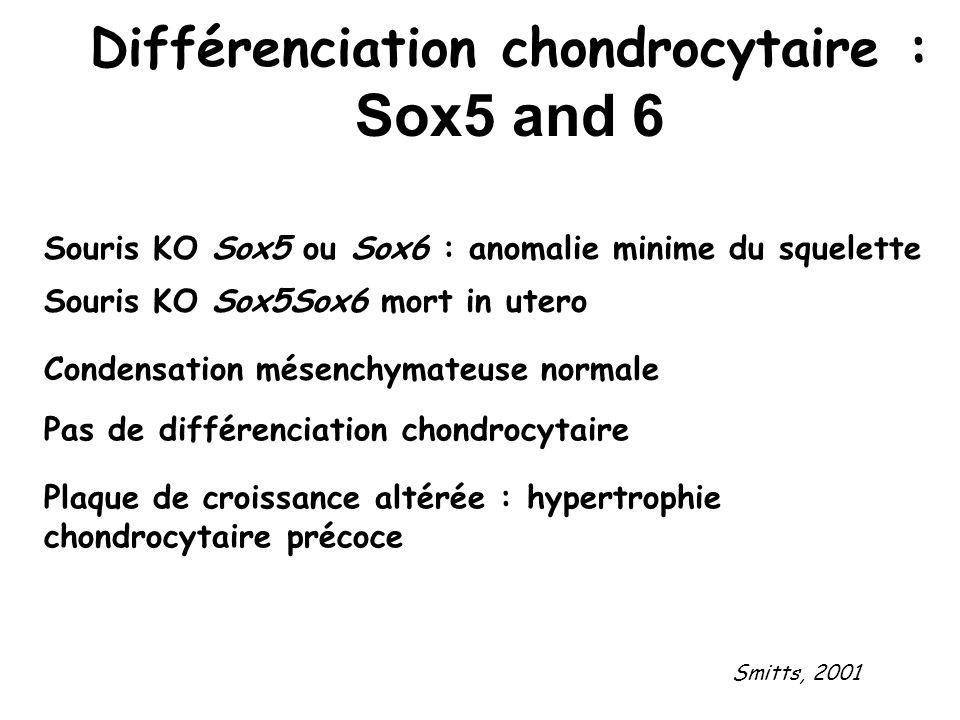 Différenciation chondrocytaire : Sox5 and 6 Souris KO Sox5Sox6 mort in utero Souris KO Sox5 ou Sox6 : anomalie minime du squelette Condensation mésenc
