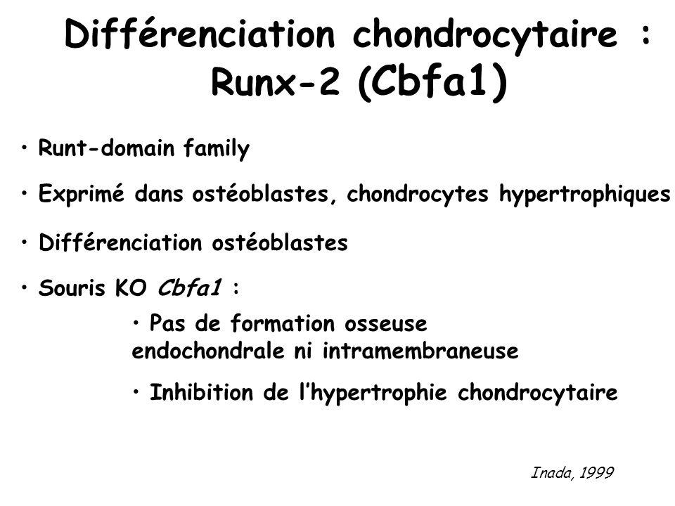 Différenciation chondrocytaire : Runx-2 ( Cbfa1) Runt-domain family Exprimé dans ostéoblastes, chondrocytes hypertrophiques Différenciation ostéoblast