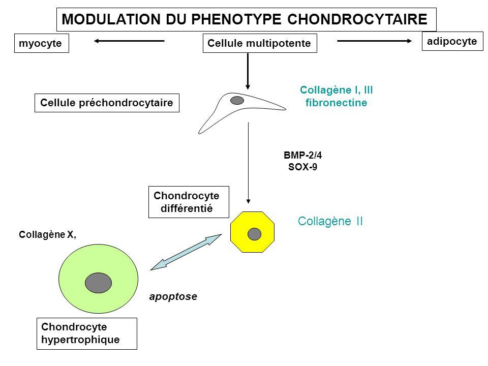 Cellule préchondrocytaire Cellule multipotentemyocyte adipocyte Chondrocyte différentié Chondrocyte hypertrophique BMP-2/4 SOX-9 Collagène I, III fibr