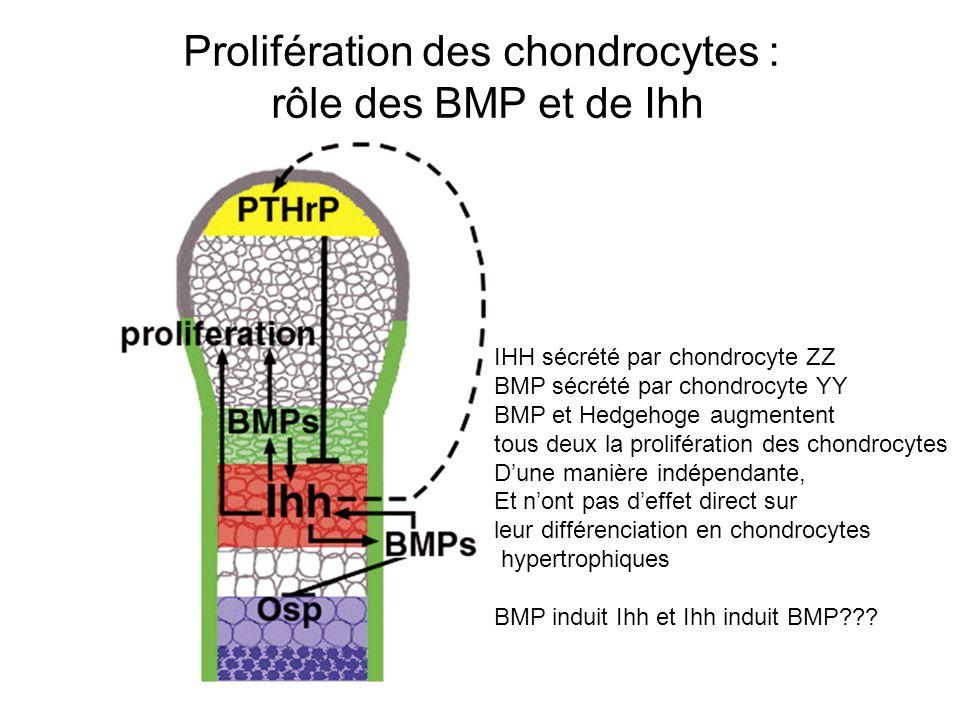 Prolifération des chondrocytes : rôle des BMP et de Ihh IHH sécrété par chondrocyte ZZ BMP sécrété par chondrocyte YY BMP et Hedgehoge augmentent tous