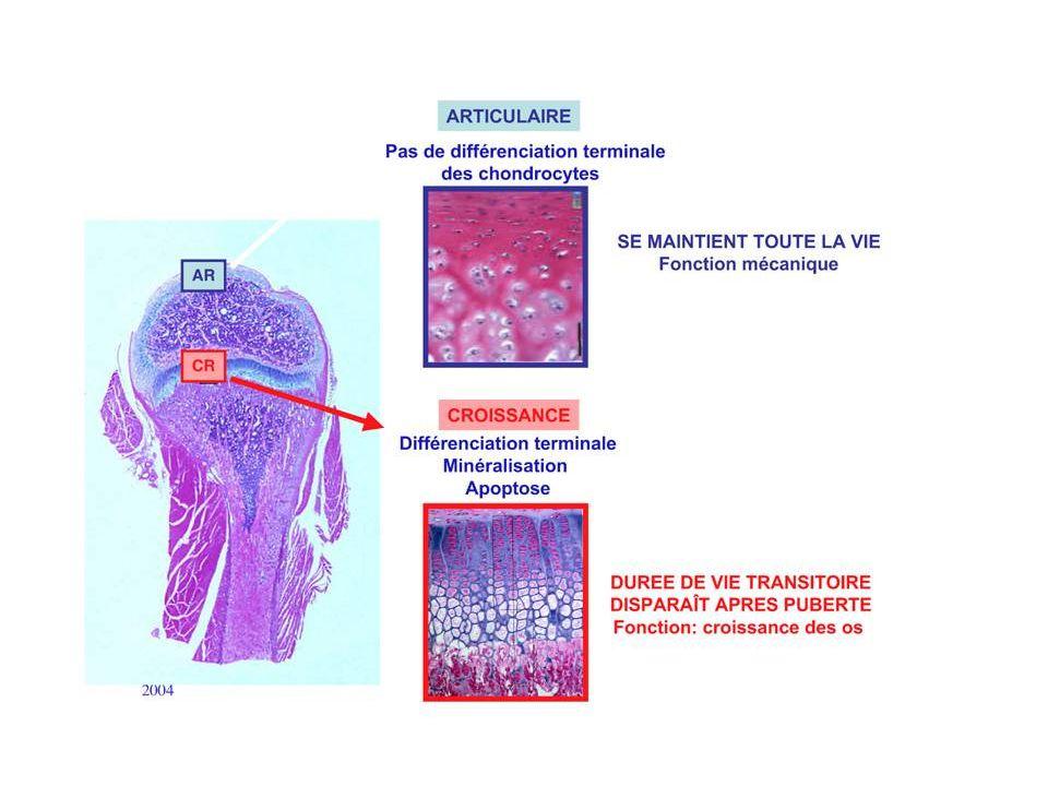 Cellule préchondrocytaire Cellule multipotentemyocyte adipocyte Chondrocyte différentié Chondrocyte hypertrophique BMP-2/4 SOX-9 Collagène I, III fibronectine Collagène X, apoptose MODULATION DU PHENOTYPE CHONDROCYTAIRE Collagène II