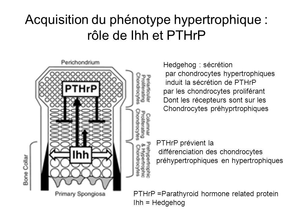 Acquisition du phénotype hypertrophique : rôle de Ihh et PTHrP Hedgehog : sécrétion par chondrocytes hypertrophiques induit la sécrétion de PTHrP par