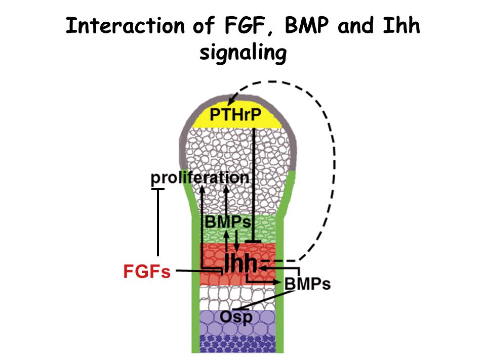 FGFs Interaction of FGF, BMP and Ihh signaling
