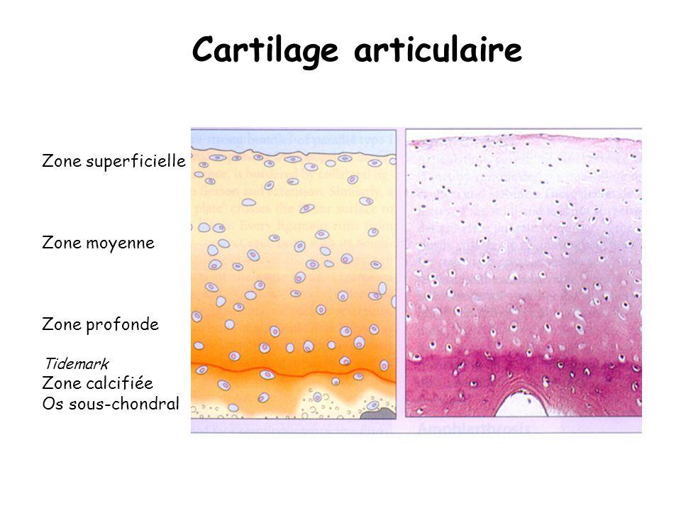 Zone superficielle Zone moyenne Zone profonde Tidemark Zone calcifiée Os sous-chondral Cartilage articulaire