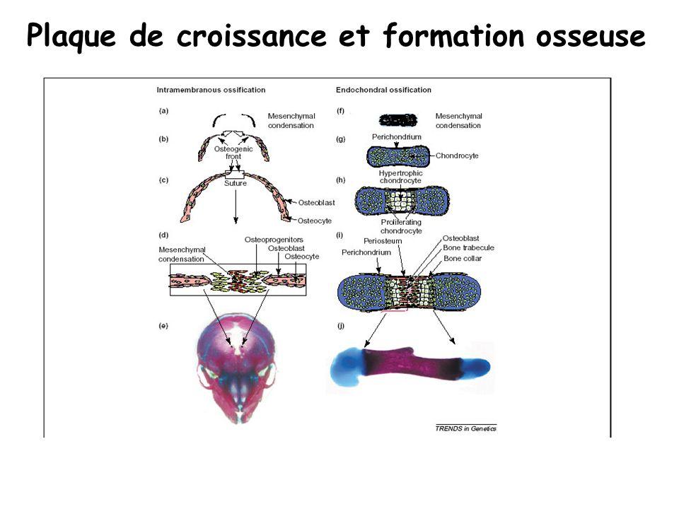 le chondrocyte hypertrophique Synthèse de Collagène de type X, Facteur induisant la formation des vaisseaux (VEGF), de phosphatase alcaline Calcification du cartilage, Apoptose