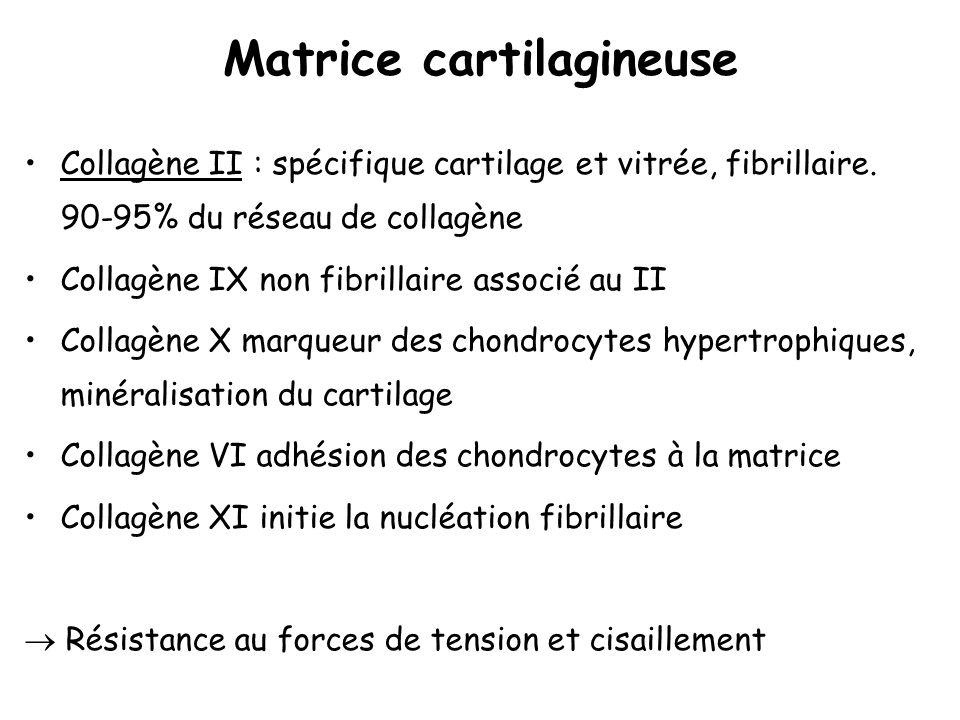 Matrice cartilagineuse Collagène II : spécifique cartilage et vitrée, fibrillaire. 90-95% du réseau de collagène Collagène IX non fibrillaire associé