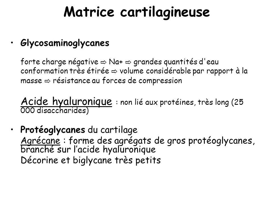Matrice cartilagineuse Glycosaminoglycanes forte charge négative Na+ grandes quantités d'eau conformation très étirée volume considérable par rapport