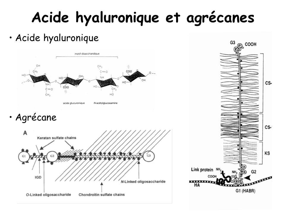 Acide hyaluronique et agrécanes Acide hyaluronique Agrécane