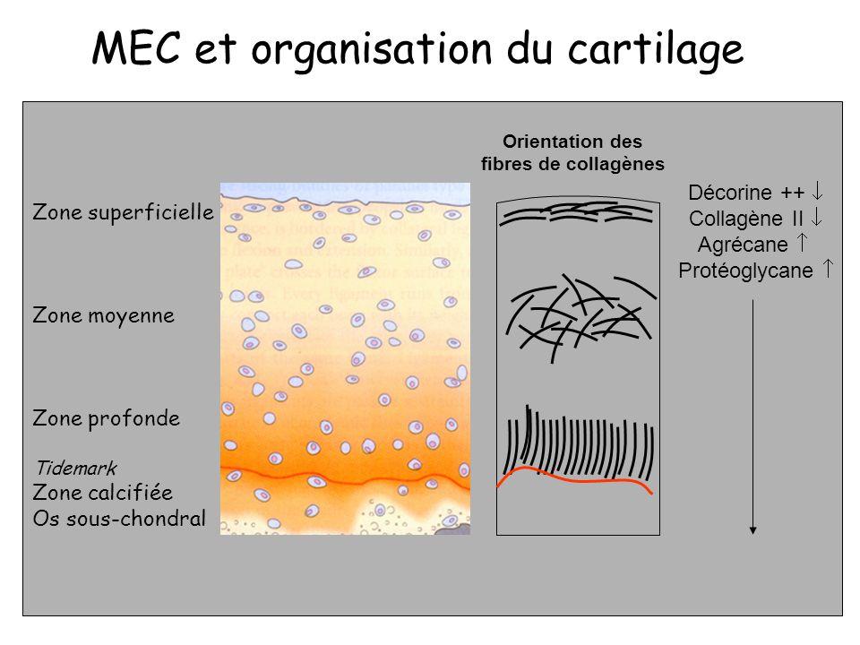 Décorine ++ Collagène II Agrécane Protéoglycane Zone superficielle Zone moyenne Zone profonde Tidemark Zone calcifiée Os sous-chondral Orientation des