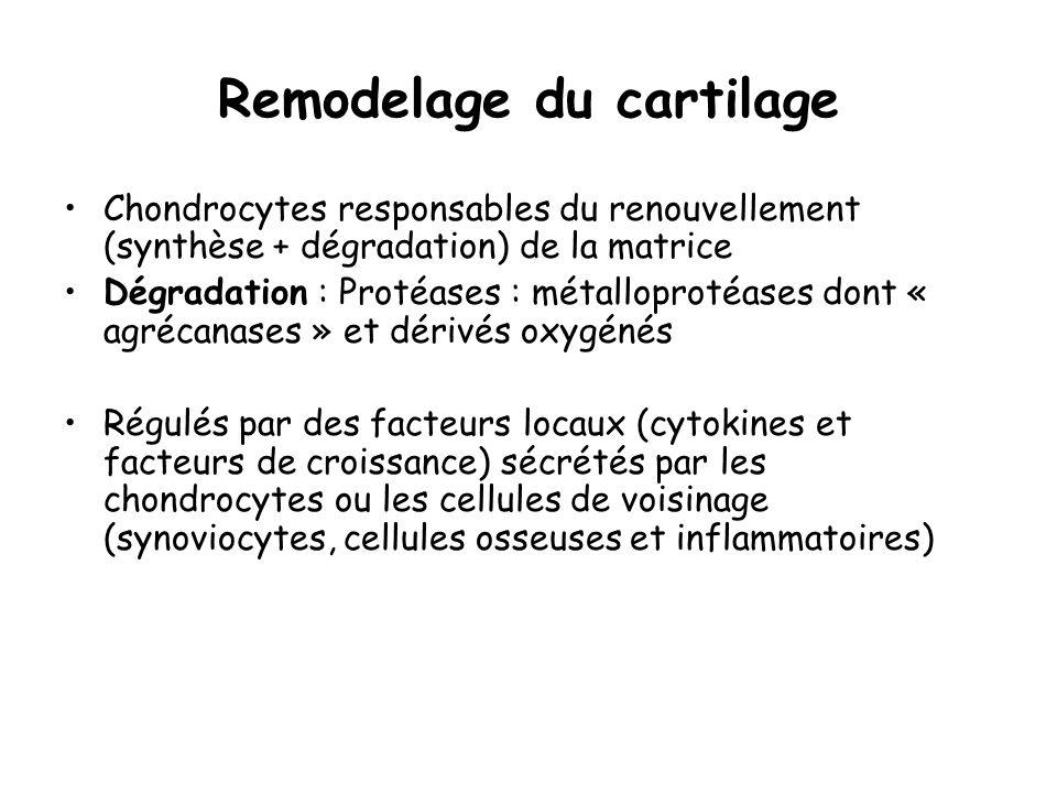 Remodelage du cartilage Chondrocytes responsables du renouvellement (synthèse + dégradation) de la matrice Dégradation : Protéases : métalloprotéases