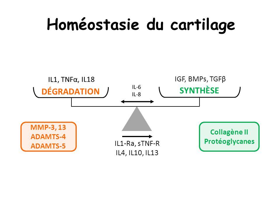 Homéostasie du cartilage IL1-Ra, sTNF-R IL4, IL10, IL13 IL-6 IL-8 IL1, TNFα, IL18 DÉGRADATION IGF, BMPs, TGFβ SYNTHÈSE MMP-3, 13 ADAMTS-4 ADAMTS-5 Col