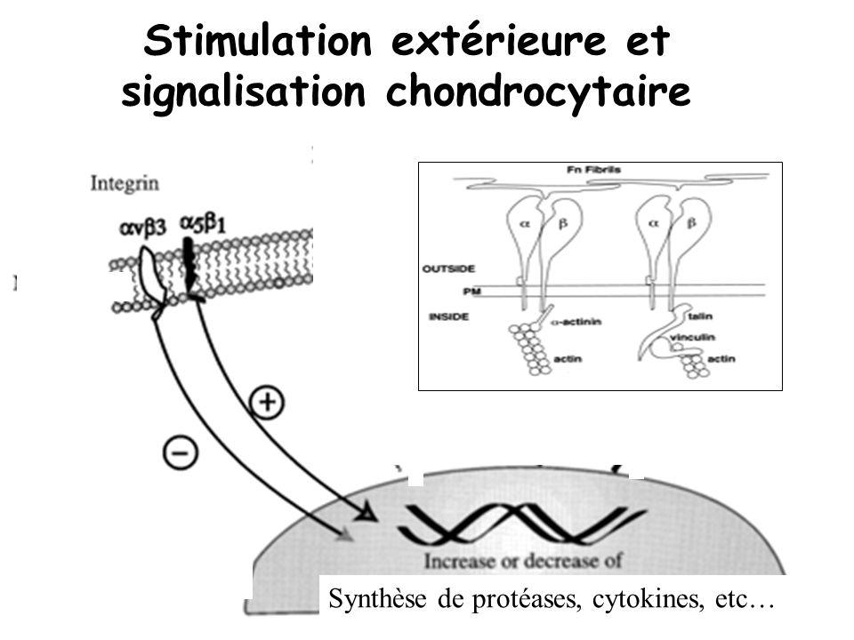 Synthèse de protéases, cytokines, etc… Stimulation extérieure et signalisation chondrocytaire