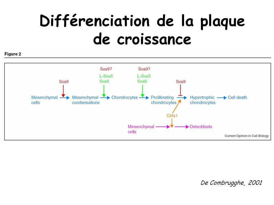 Prolifération des chondrocytes : rôle des BMP et de Ihh IHH sécrété par chondrocyte ZZ BMP sécrété par chondrocyte YY BMP et Hedgehoge augmentent tous deux la prolifération des chondrocytes Dune manière indépendante, Et nont pas deffet direct sur leur différenciation en chondrocytes hypertrophiques BMP induit Ihh et Ihh induit BMP???