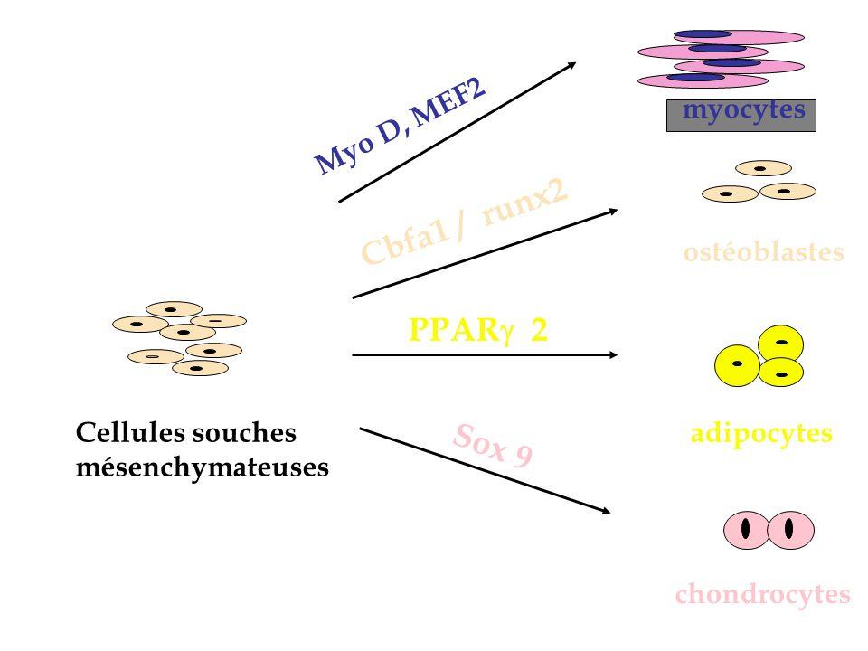 Différenciation chondrocytaire Sox 9 : cofacteur sox 5 et 6 Se lie sur le promoteur de Col II Induit la condensation mésenchymateuse Inhibe lhypertrophie Dysplasie campomélique Hypoplasie de tous les os Inversion sexuelle chez les sujets XY Mort à la naissance par insu.