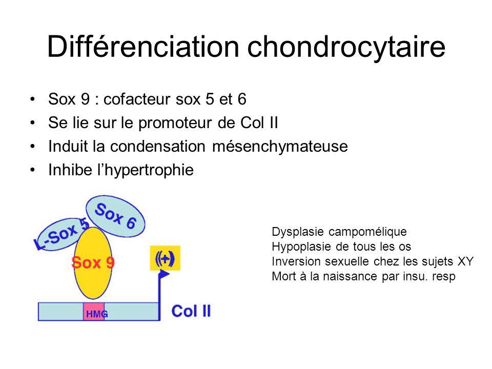 Différenciation chondrocytaire : Sox5 and 6 Souris KO Sox5Sox6 mort in utero Souris KO Sox5 ou Sox6 : anomalie minime du squelette Condensation mésenchymateuse normale Pas de différenciation chondrocytaire Plaque de croissance altérée : hypertrophie chondrocytaire précoce Smitts, 2001