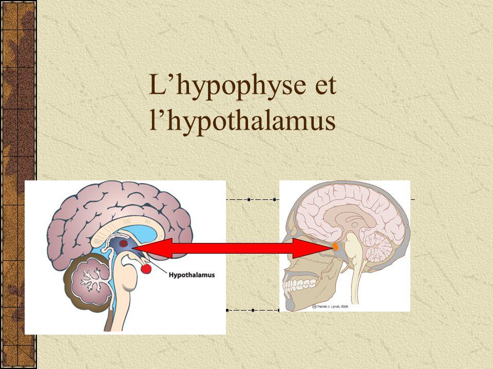 Lhypothalamus La region de lencéphale qui dirige le système nerveux autonome en maintenant lhoméostasie Lhypothalamus AUSSI agit comme une glande endocrinienne à cause quil sécrète les hormones qui sappellent les hormones de libération les « libérines » et dinhibition les « inhibines »