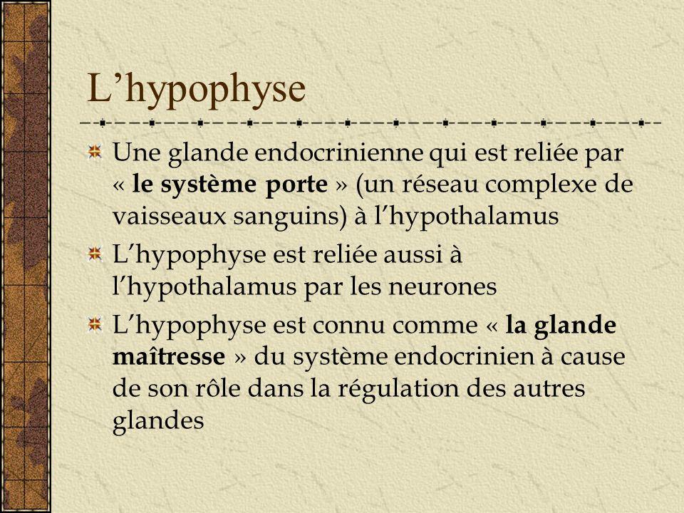 Lhypophyse Une glande endocrinienne qui est reliée par « le système porte » (un réseau complexe de vaisseaux sanguins) à lhypothalamus Lhypophyse est