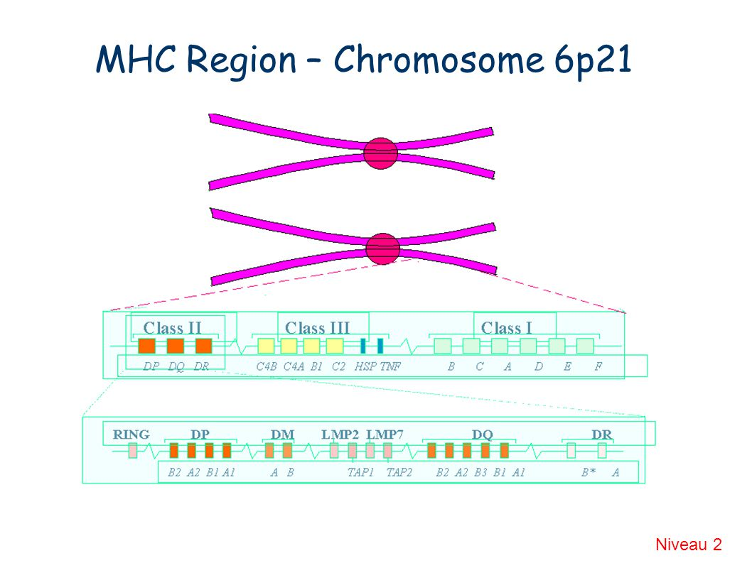 MHC Region – Chromosome 6p21 Niveau 2