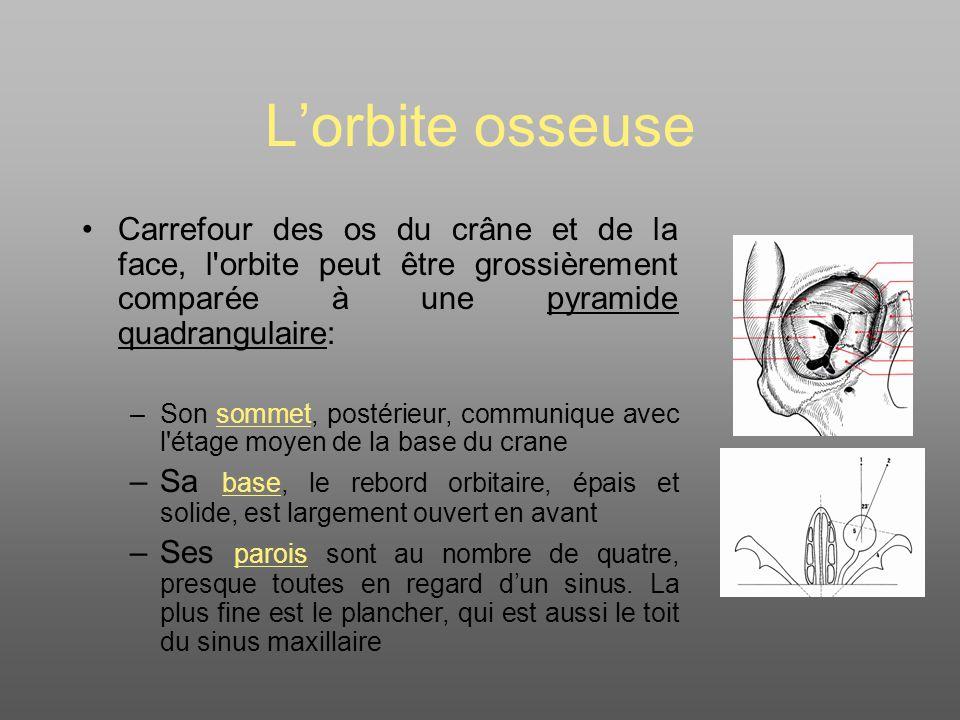 Lorbite osseuse Carrefour des os du crâne et de la face, l orbite peut être grossièrement comparée à une pyramide quadrangulaire: –Son sommet, postérieur, communique avec l étage moyen de la base du crane –Sa base, le rebord orbitaire, épais et solide, est largement ouvert en avant –Ses parois sont au nombre de quatre, presque toutes en regard dun sinus.