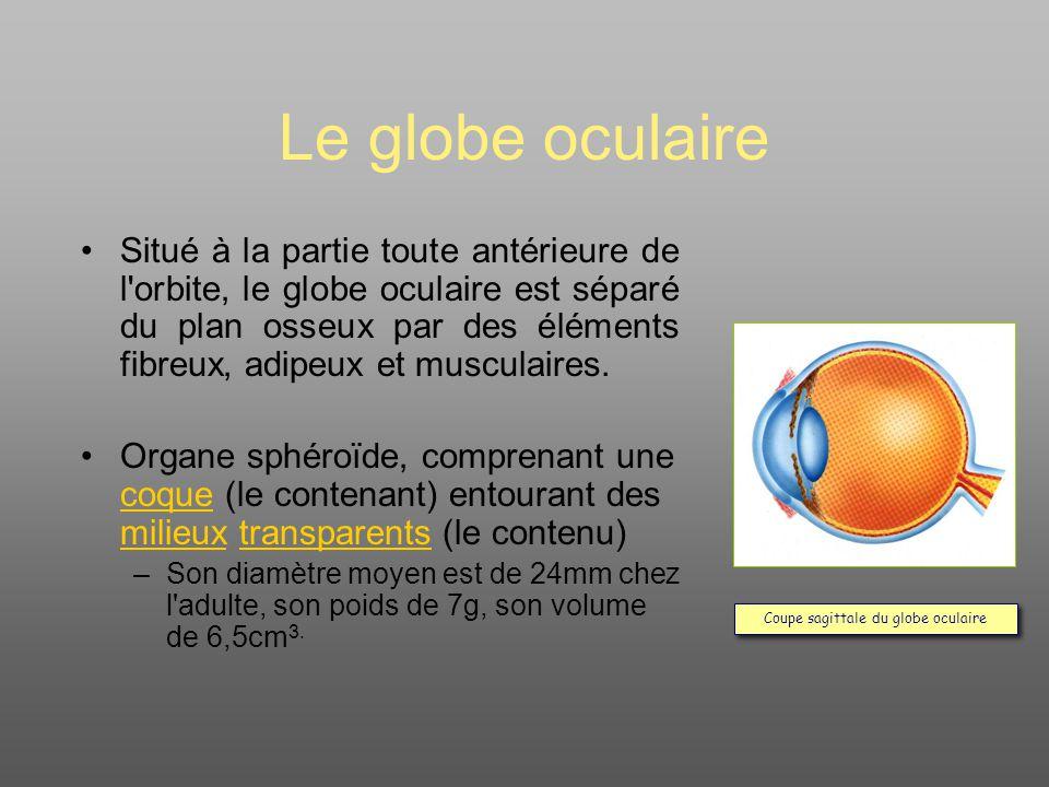 Le globe oculaire Situé à la partie toute antérieure de l orbite, le globe oculaire est séparé du plan osseux par des éléments fibreux, adipeux et musculaires.