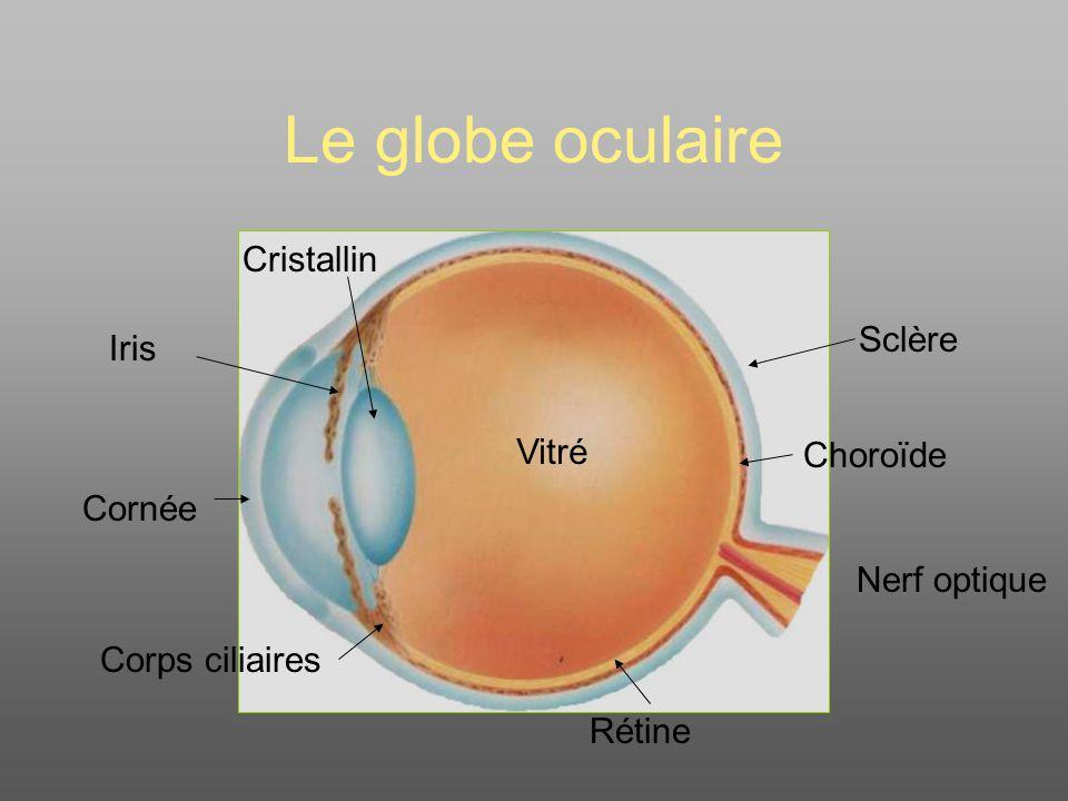 Le globe oculaire Nerf optique Sclère Choroïde Cristallin Cornée Corps ciliaires Iris Vitré Rétine