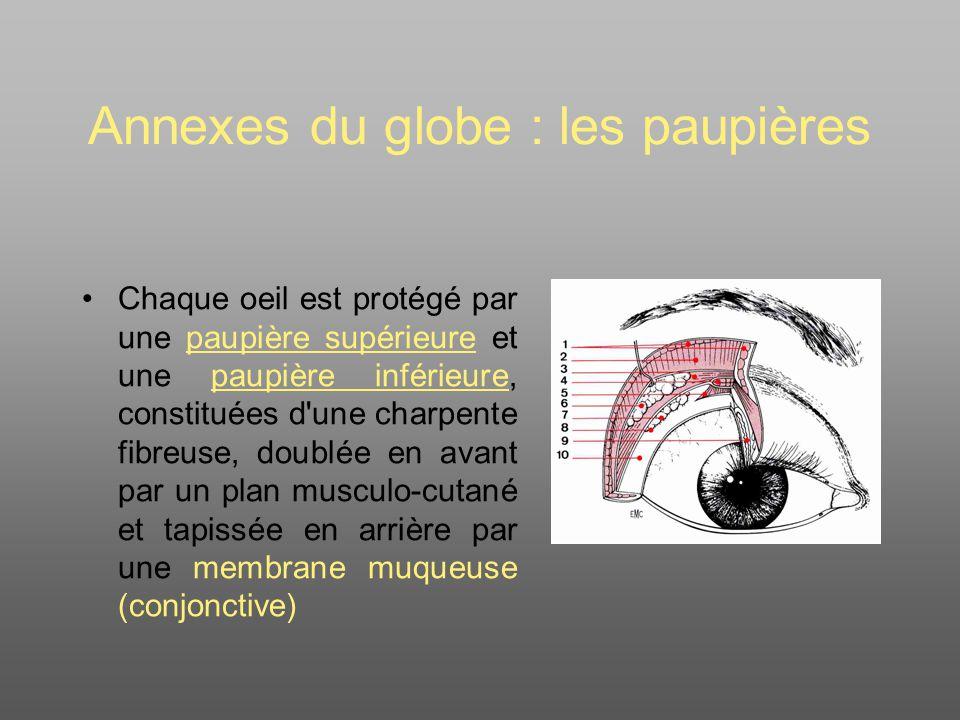 Annexes du globe : les paupières Chaque oeil est protégé par une paupière supérieure et une paupière inférieure, constituées d une charpente fibreuse, doublée en avant par un plan musculo-cutané et tapissée en arrière par une membrane muqueuse (conjonctive)