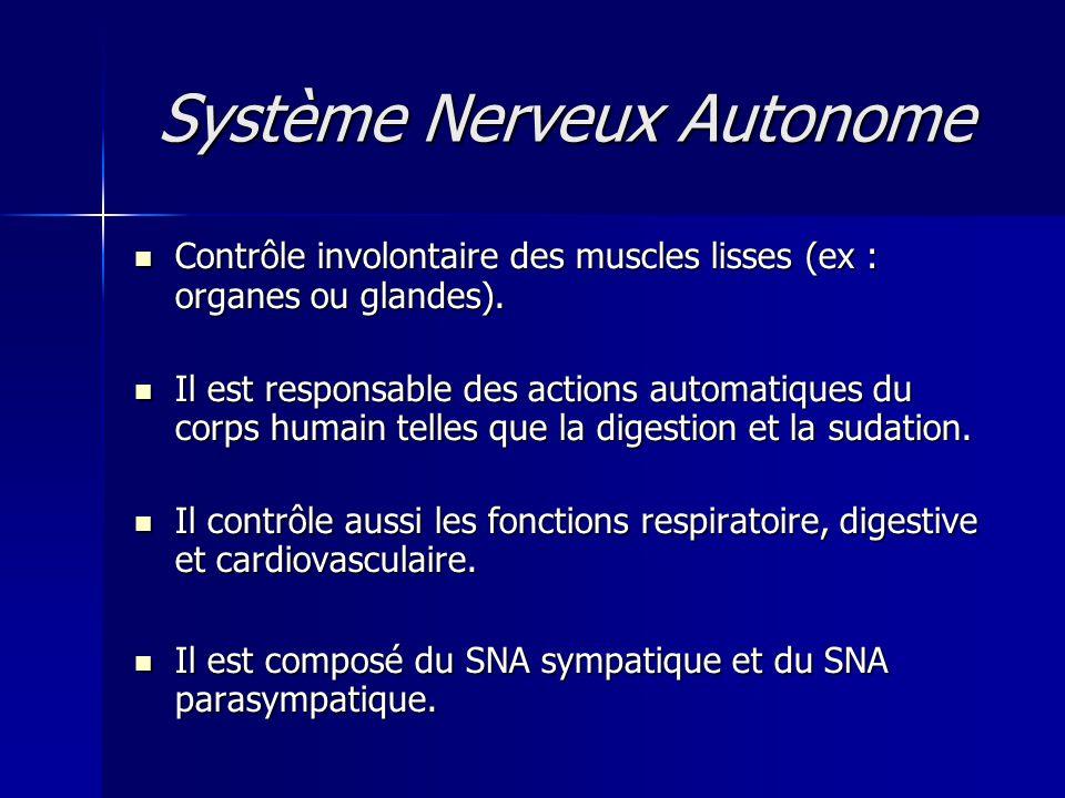Système Nerveux Autonome Contrôle involontaire des muscles lisses (ex : organes ou glandes). Contrôle involontaire des muscles lisses (ex : organes ou