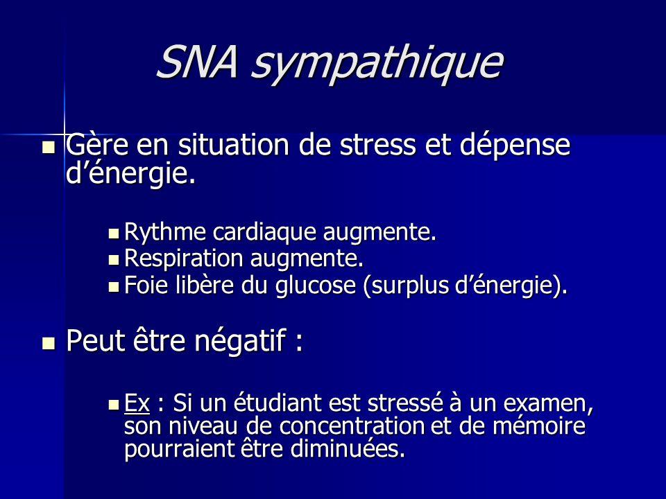 SNA sympathique SNA sympathique Gère en situation de stress et dépense dénergie. Gère en situation de stress et dépense dénergie. Rythme cardiaque aug