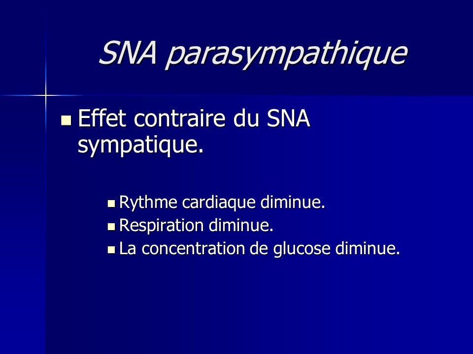 SNA parasympathique Effet contraire du SNA sympatique. Effet contraire du SNA sympatique. Rythme cardiaque diminue. Rythme cardiaque diminue. Respirat