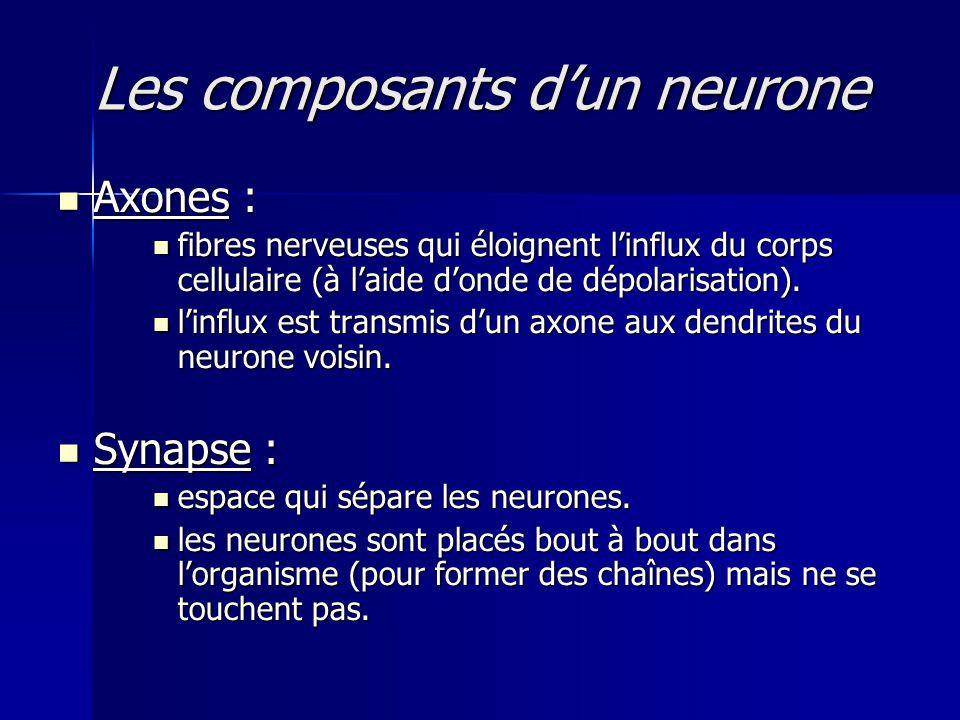 Les composants dun neurone Axones : Axones : fibres nerveuses qui éloignent linflux du corps cellulaire (à laide donde de dépolarisation). fibres nerv