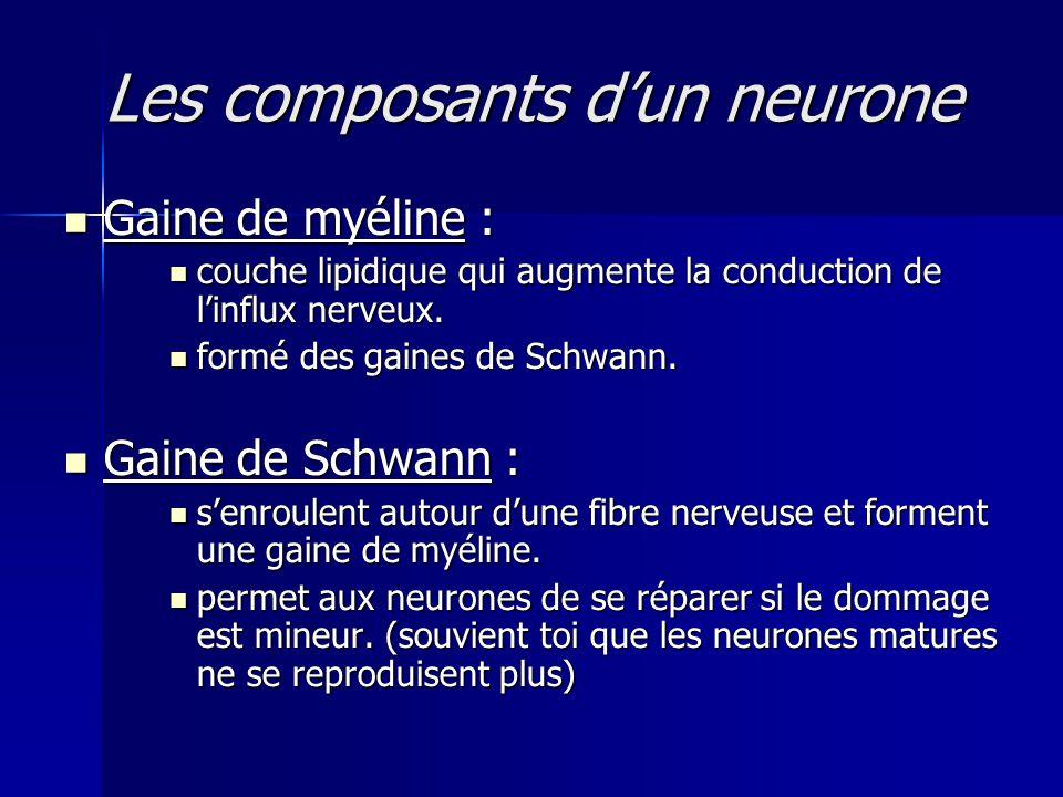 Les composants dun neurone Gaine de myéline : Gaine de myéline : couche lipidique qui augmente la conduction de linflux nerveux. couche lipidique qui