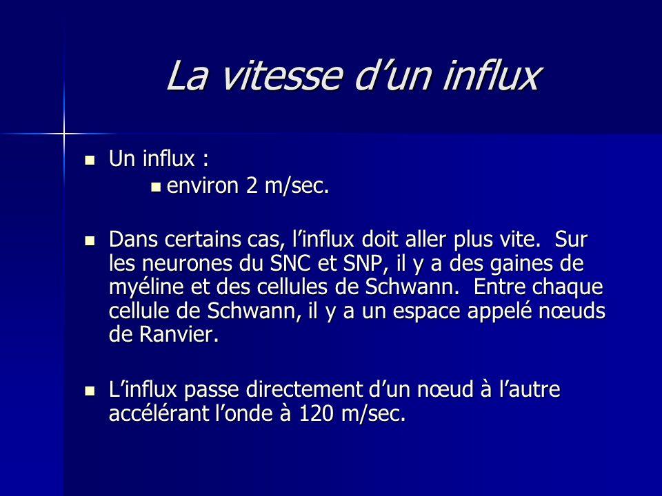 La vitesse dun influx Un influx : Un influx : environ 2 m/sec. environ 2 m/sec. Dans certains cas, linflux doit aller plus vite. Sur les neurones du S