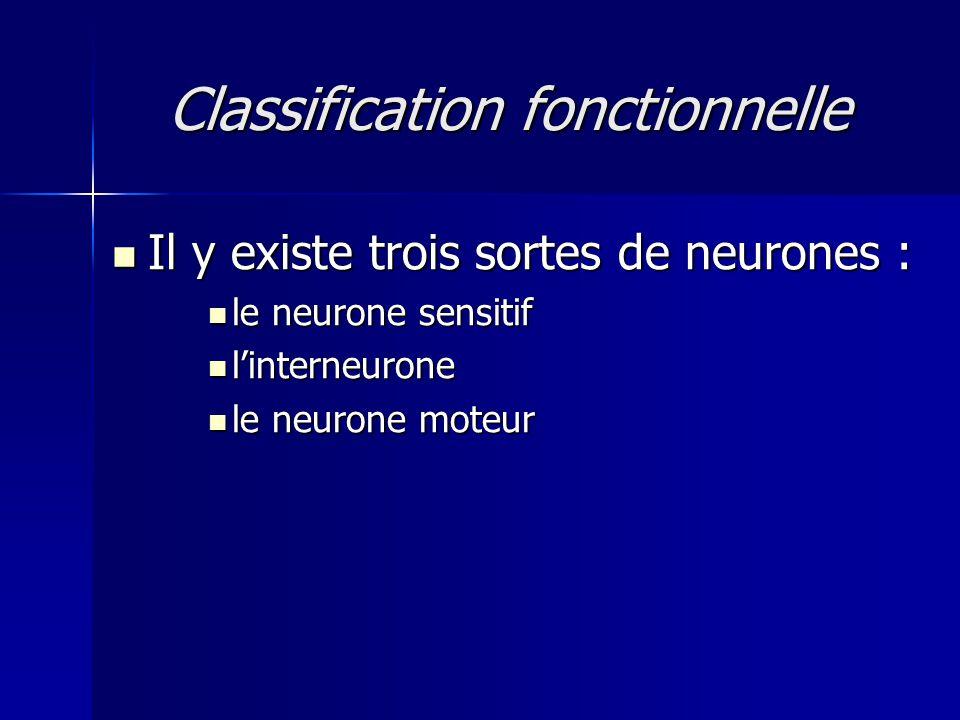 Classification fonctionnelle Il y existe trois sortes de neurones : Il y existe trois sortes de neurones : le neurone sensitif le neurone sensitif lin